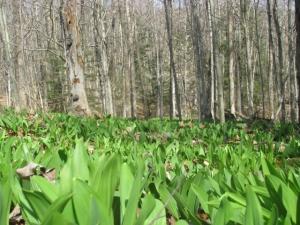 Wild Leek Understory Forest