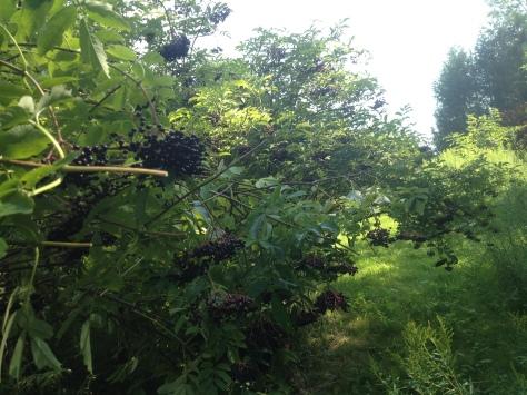 Elderberry, Elder, sambucus canadensis