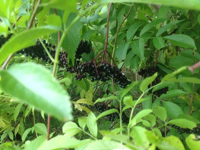 Elderberry ripe